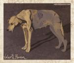 Plate 4: Rabid Dog. Valerie Herron 2014