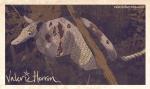 Plate 6: Armadillo with Leprosy.  Valerie Herron, 2014